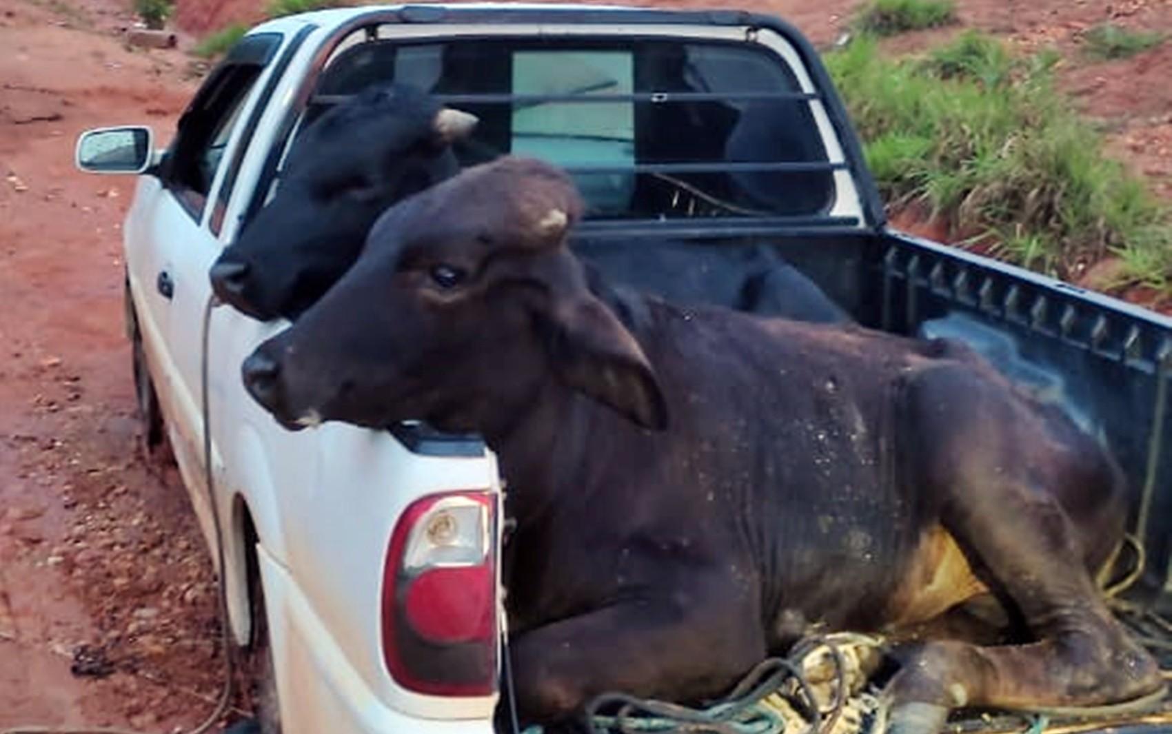Ladrões de gado são perseguidos e trocam tiros com a polícia em Ouro Fino, MG