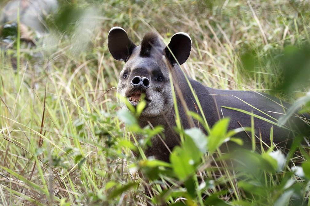 A anta é o maior mamífero herbívoro do Brasil  (Foto: Jeanne Martins/VC no TG)