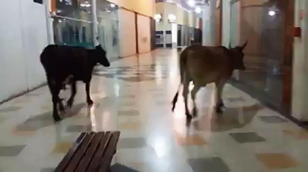 Vacas entraram em shopping em Lavras (MG) (Foto: Reprodução/Redes Sociais)