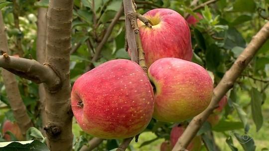 Sítio em Montanha é destaque na produção de maçãs em temperaturas altas