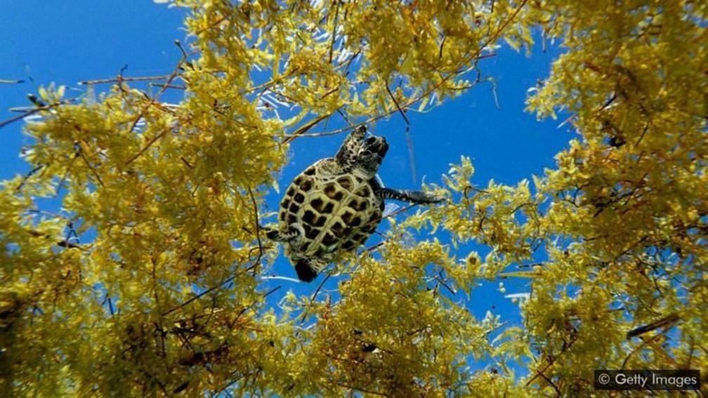 Em águas abertas, o sargaço oferece um habitat essencial para peixes e outros animais marinhos — mas quando se acumula na costa, pode dificultar a desova das tartarugas — Foto: Getty Images
