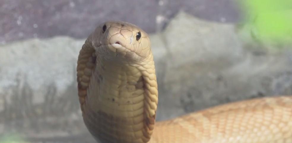 Cobra da espécie naja no Zoológico de Brasília — Foto: TV Globo/Reprodução