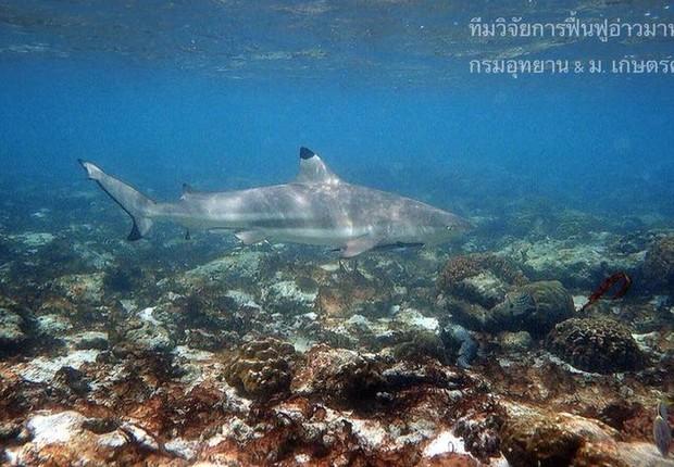 Após o fechamento, tubarões-de-pontas-negras-de-recife começaram a aparecer na baía (Foto: THON THAMRONGNAWASAWAT via BBC News Brasil)