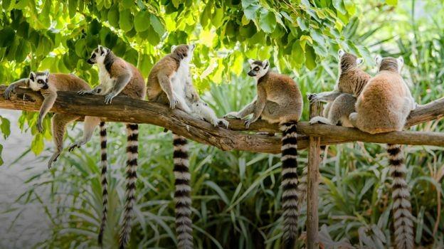 O cultivo da baunilha tem levado à derrubada de áreas de floresta; prática ameaça animais, como os lêmures (Foto: Getty Images)