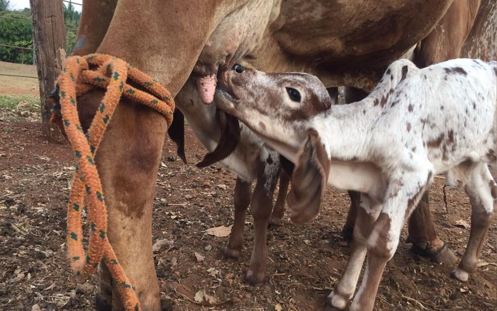 Bezerros estão sendo acompanhados por veterinário, em Goiatuba (Foto: Danillo Caixeta/Arquivo pessoal)