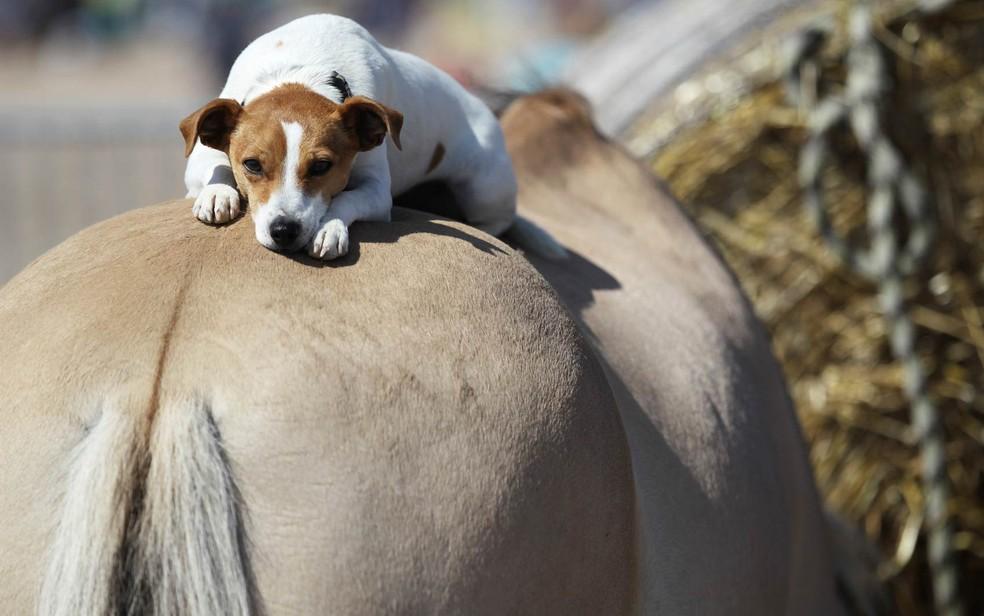 Cachorro descansa sobre a traseira de um cavalo em Ouistreham, no norte da França — Foto: Charly Triballeau/AFP