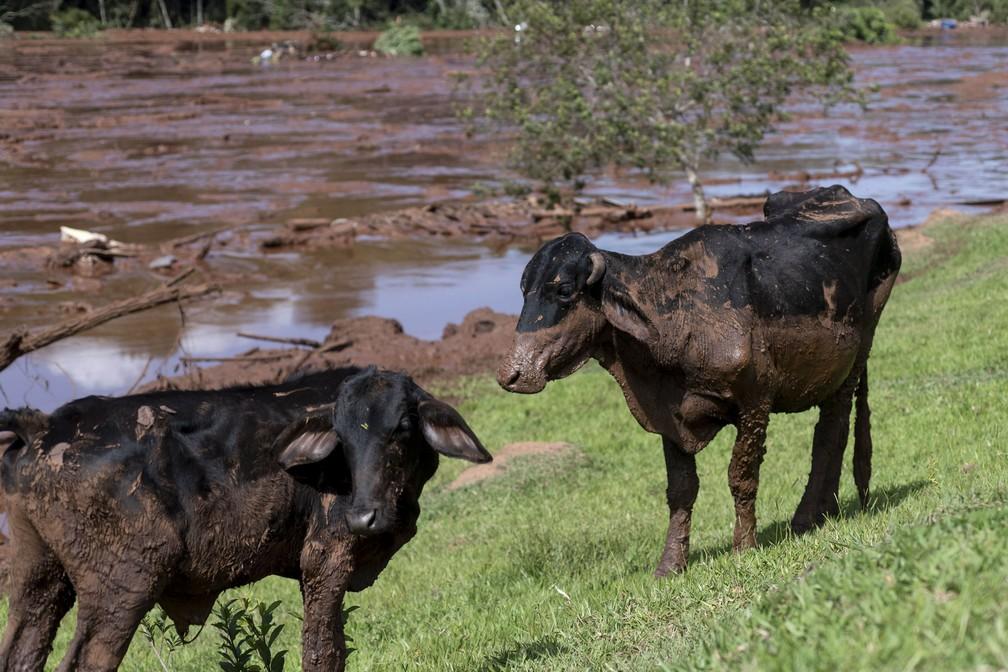 Rebanho coberto de detritos de mineração depois que a barragem da Vale rompeu em Brumadinho. — Foto: Leo Drumond/Agencia Nitro via AP