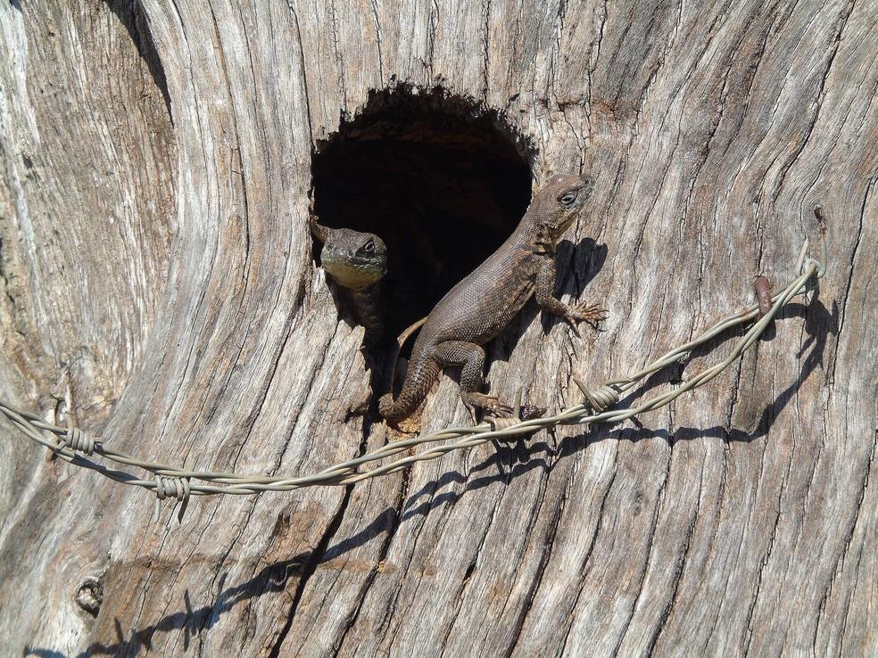 Calangos também são clicados por fotógrafo de natureza (Foto: Abrão Gomes/VC no TG)
