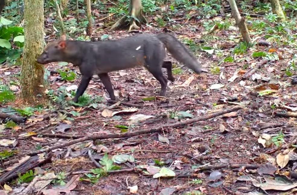 Cachorro-do-mato-de-orelha-curta é uma espécie rara e registros de sua ocorrência são incomuns — Foto: Reprodução/WWF Brasil