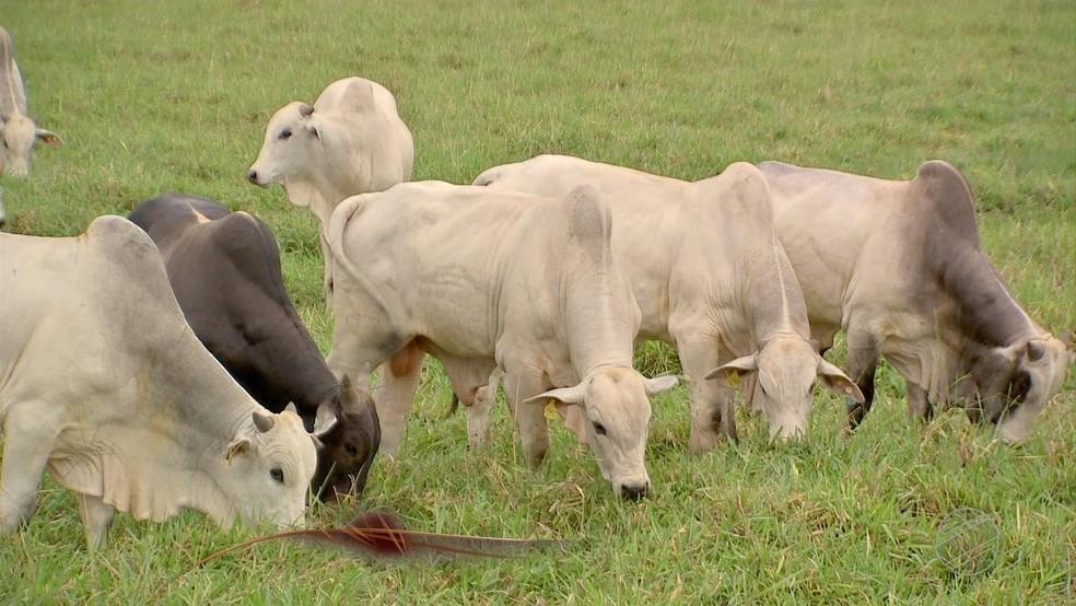 Temporada de confinamentos ocasiona 'corrida' por animais novos — Foto: Reprodução/TVCA