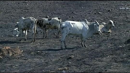 Profissionais tentam salvar rebanho que sobreviveu a incêndio em fazendas de Carmolândia