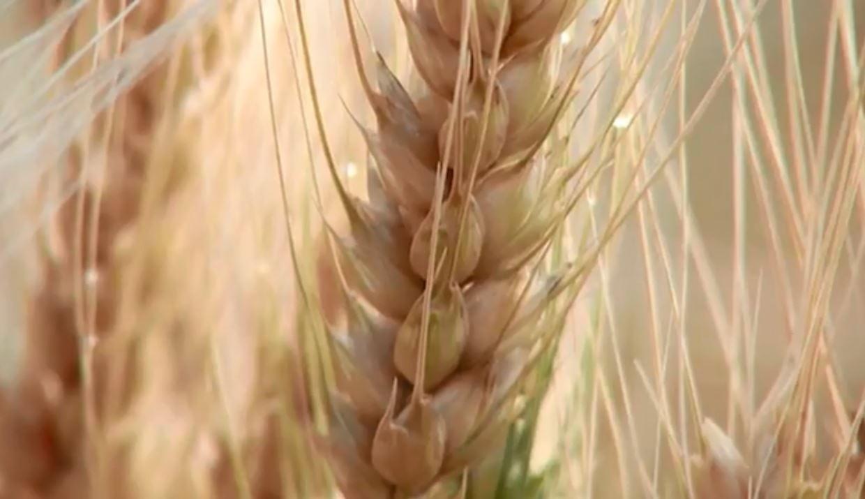 Preço em alta e variedades mais resistentes estimulam produção de trigo no Paraná