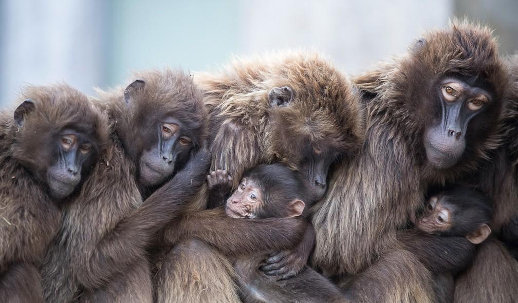 4 de janeiro - Babuíno-gelada, também conhecidos como babuínos-de-coração-sangrento, abraçam sua cria para se aquecer no zoológico de Wilhelma em Stuttgart, na Alemanha (Foto: Sebastian Gollnow/dpa via AP)
