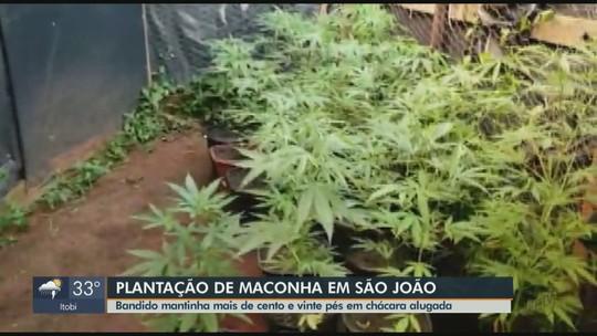 Polícia Militar prende homem com 124 pés de maconha em chácara de São João da Boa Vista