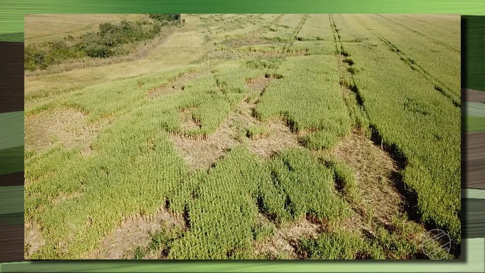 Ataque de porcos do mato destruiu 15% da lavoura de milho de um produtor em Água Boa (Foto: TV Centro América/Reprodução)