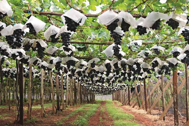 vida_na_fazenda_como_plantar_uvas_sem_sementes (Foto: Reprodução/RodrigoMonteiro)
