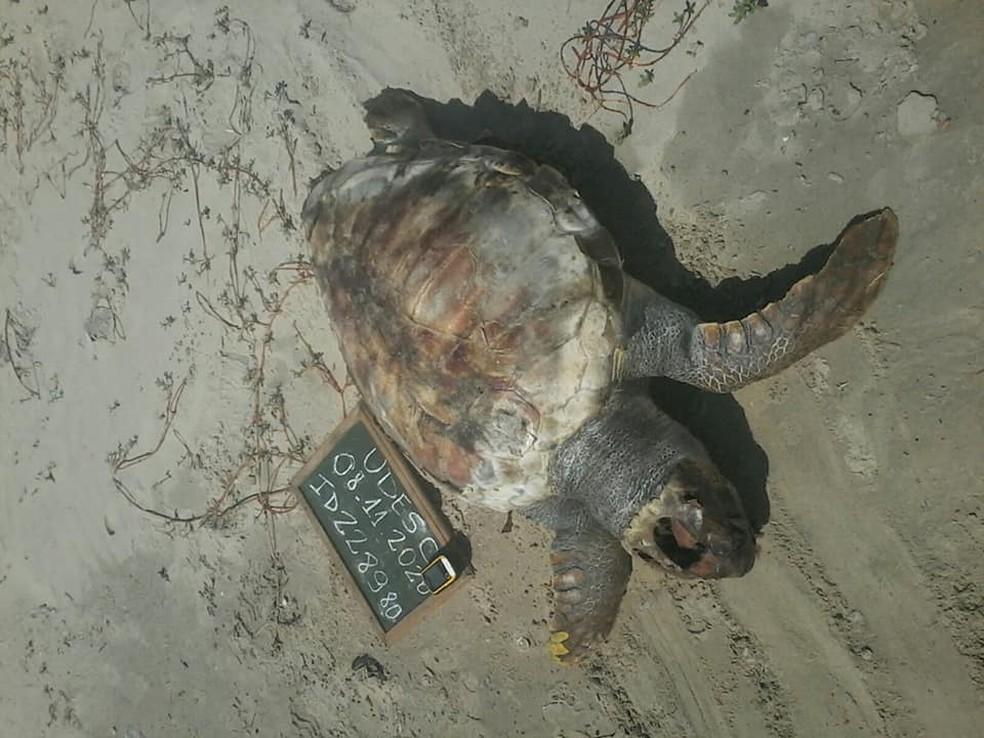 Tartaruga encontrada no domingo em praia de Laguna — Foto: PMP BS/ Udesc