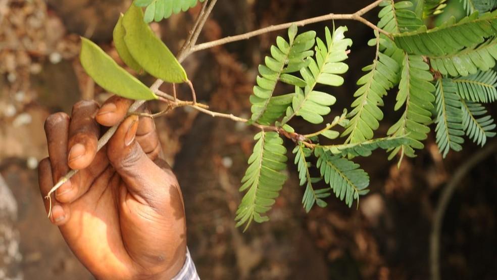Árvore tropical da Guiné — Foto: Martin Cheek