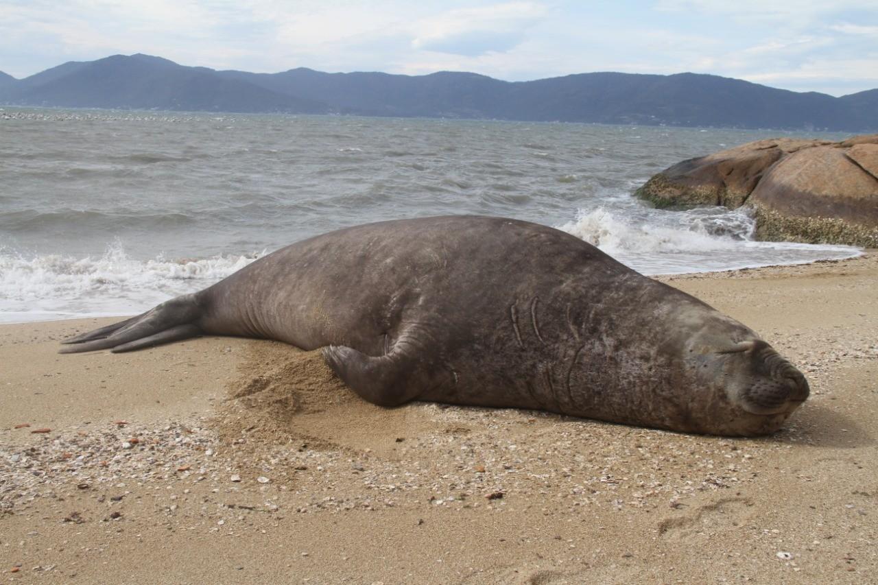 Elefante-marinho é monitorado por especialistas após aparecer em praias de Palhoça; FOTOS
