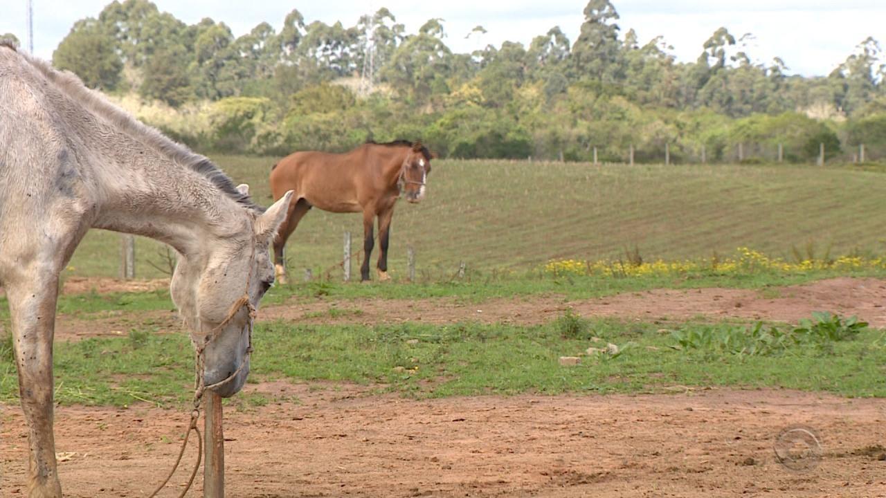Morte de cavalos na Região Metropolitana de Porto Alegre é investigada