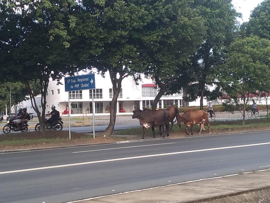Bois soltos colocam em risco motoristas na Av. Durval de Góes Monteiro