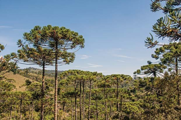 View of treetops in the middle of a pine forest in Horto Florestal, near Campos do Jordão, a city famous for its mountain and hiking tourism. Located in the São Paulo State, southwestern Brazil (Foto: Getty Images/iStockphoto)