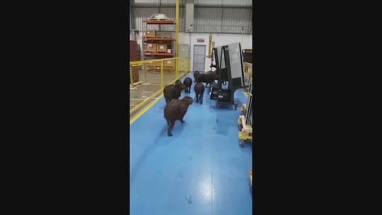 Grupo de capivaras invade fábrica em Itajaí; veja vídeo
