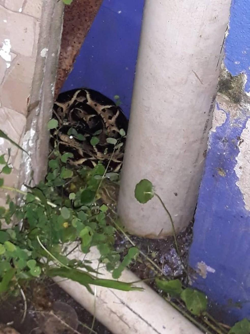 Serpente estava escondida no quintal de morador do bairro São Lourenço em Bertioga, SP — Foto: Arquivo Pessoal/Paulo Rodrigues