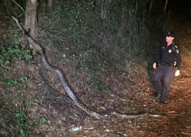 Píton de 5 metros de comprimento assusta policiais na Austrália