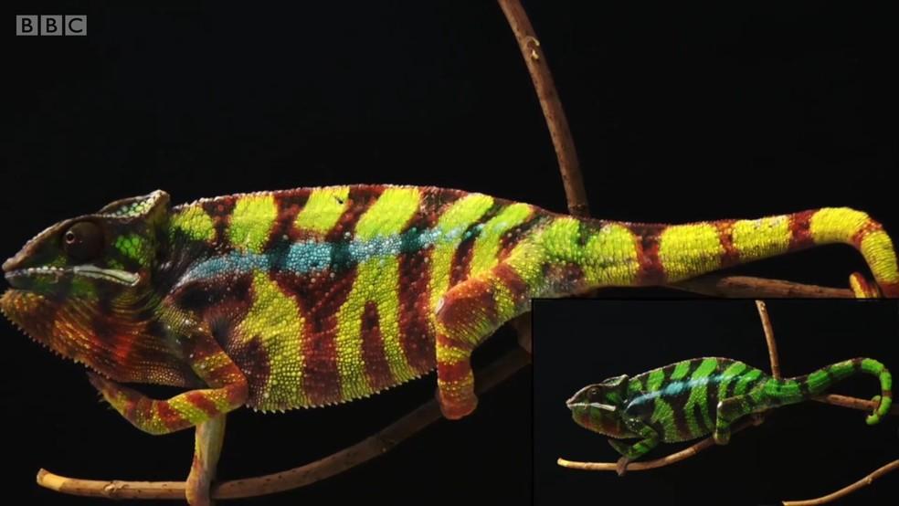 Camaleões também têm a habilidade de se camuflar em ambientes selvagens (Foto: BBC)