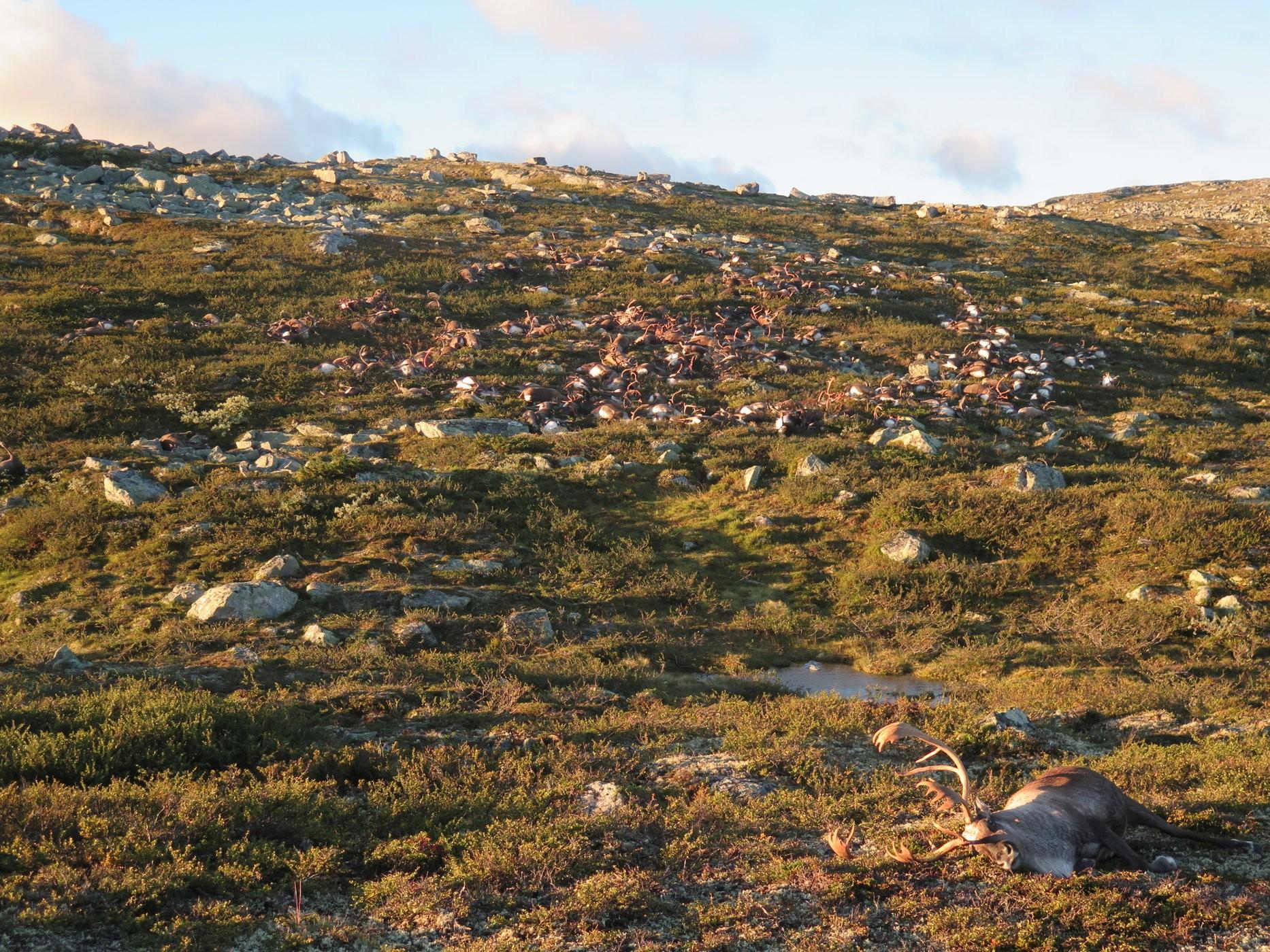 Sementes de amoreira foram deixadas no campo repleto de carcaças por outros bichos (Foto: Havard Kjotvedt/Norwegian Environment Agency)