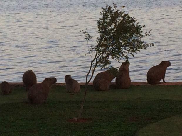 Pesquisa mapeia população de capivaras que circulam próximo ao Lago Paranoá, no DF