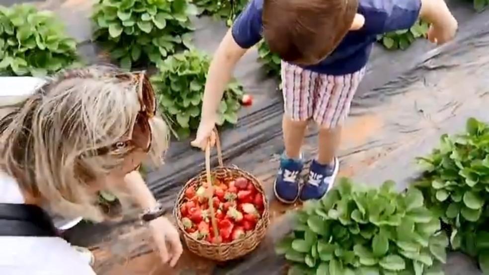 Mãe e filho colhem morango em propriedade rural de Urânia  — Foto: Reprodução/TV TEM