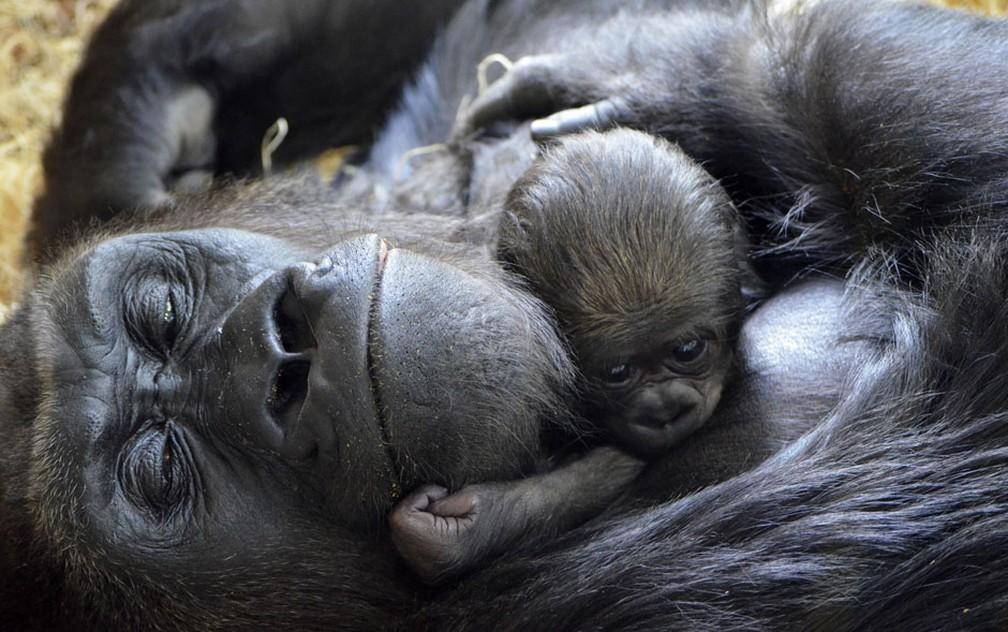 Foto divulgada pelo Lincoln Park Zoo, em Chicago, mostra um gorila filhote com 6 dias de vida abraçando sua mãe, Bana, de 17 anos (Foto: Tony Gnau/Lincoln Park Zoo via AP)
