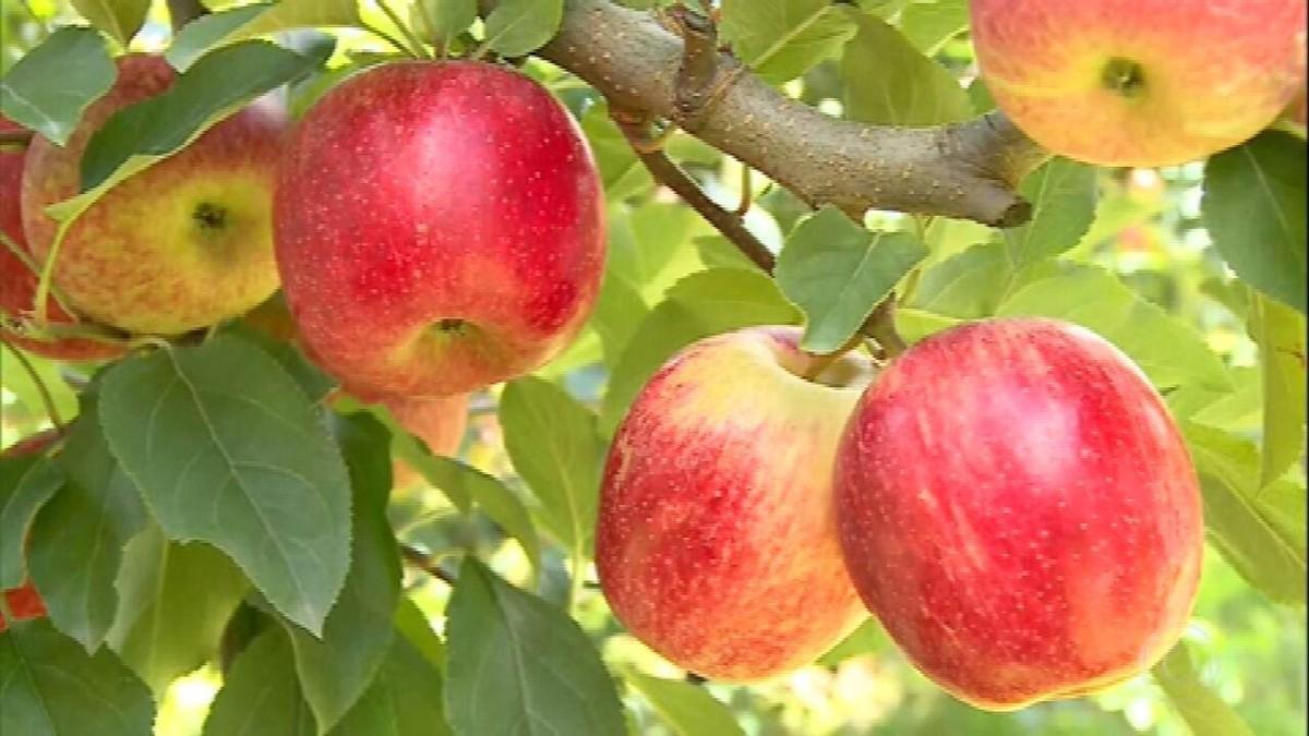 Colheita de maçã em Santa Catarina deve crescer 17% este ano thumbnail