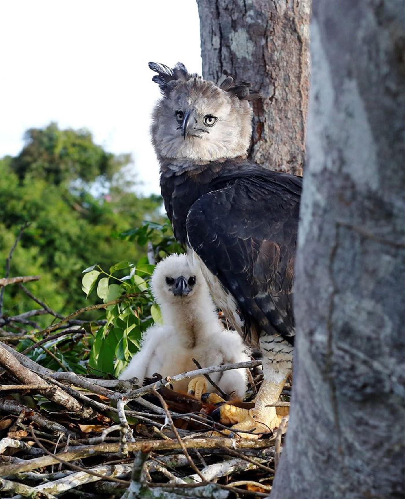 Fotógrafo consegue imagem rara de harpia e filhote no ninho