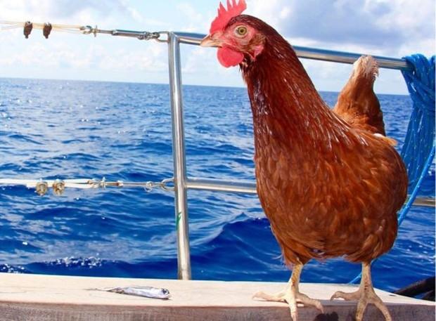 Monique põe, em média, seis ovos por semana  (Foto: Guirec Soudée)