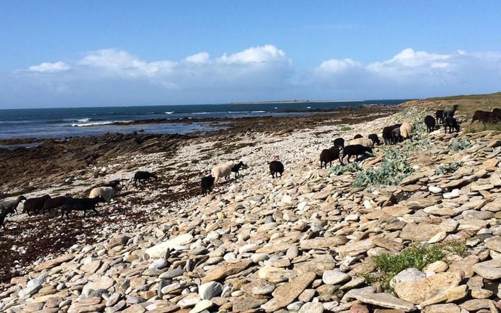 Quéménès é uma pequena ilha habitada por ovelhas (Foto: BBC)