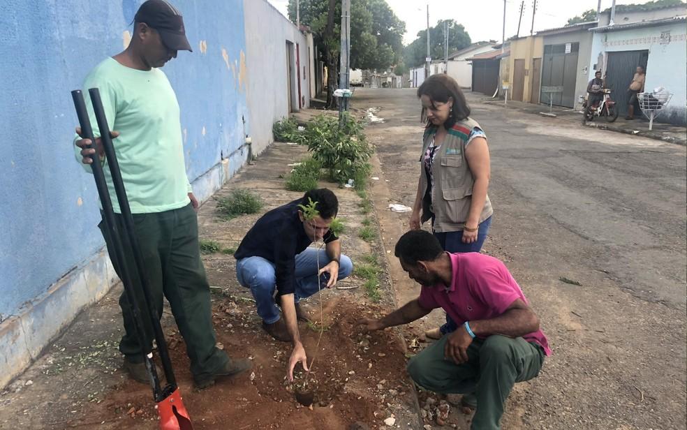 Equipe planta muda de ipê de jardim no local em que havia sido plantado um guapuruvu em Goiânia, Goiás — Foto: Paula Resende/ G1