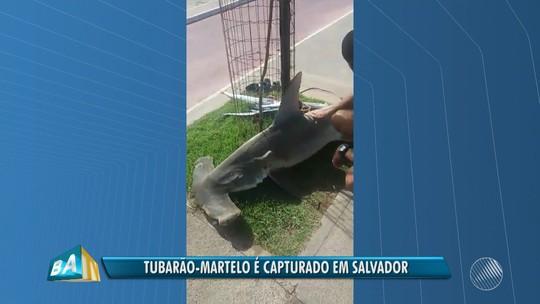 Tubarão martelo com cerca de 2 metros é morto por mergulhadores na praia de Armação, em Salvador