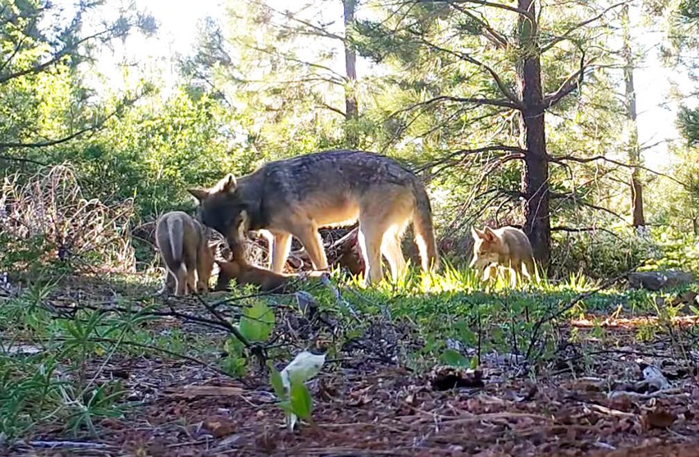 Imagem de lobo e três filhotes capturada por um vídeo de monitoramento no norte da Califórnia, em agosto de 2019 — Foto: California Department of Fish and Wildlife/AP