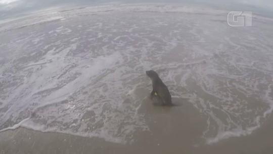 Tartaruga e lobo-marinho são devolvidos ao mar após passarem por tratamento em Rio Grande