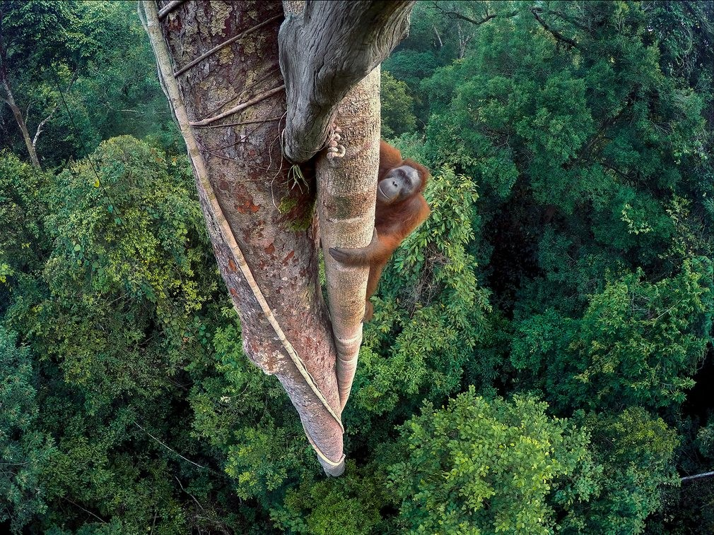 (Foto: Tim Laman/ 2016 Wildlife Photographer of the Year (Reprodução)