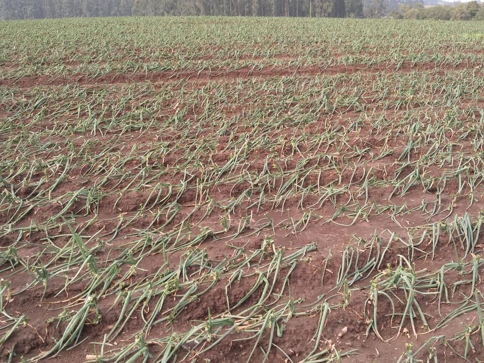 Plantação de cebola em Aurora foi destruída pela chuva de granizo e força do vento — Foto: Secretaria de Agricultura de Aurora