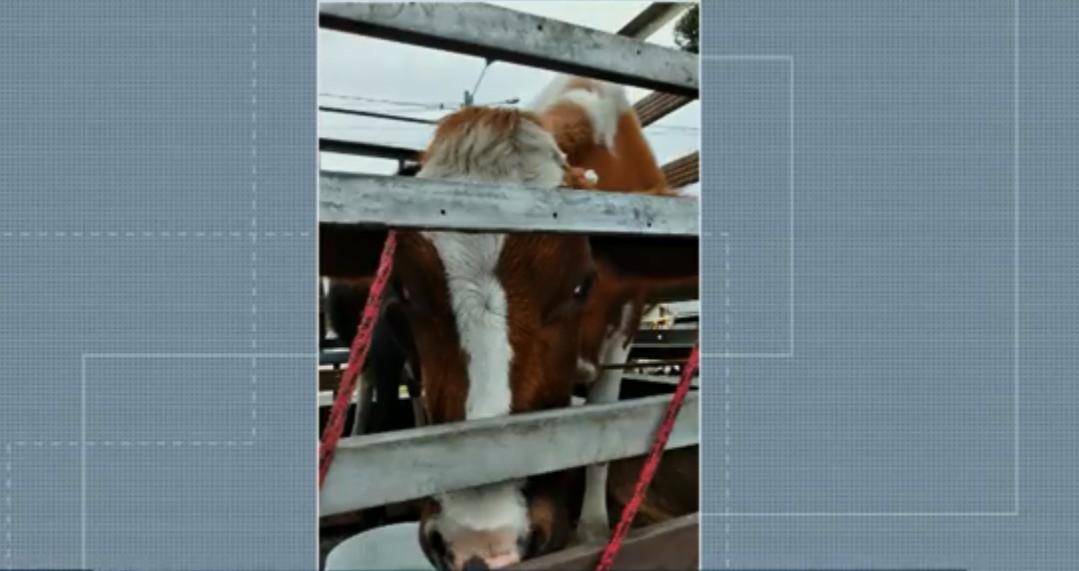 Homem é preso suspeito de furtar vacas em Palmeira