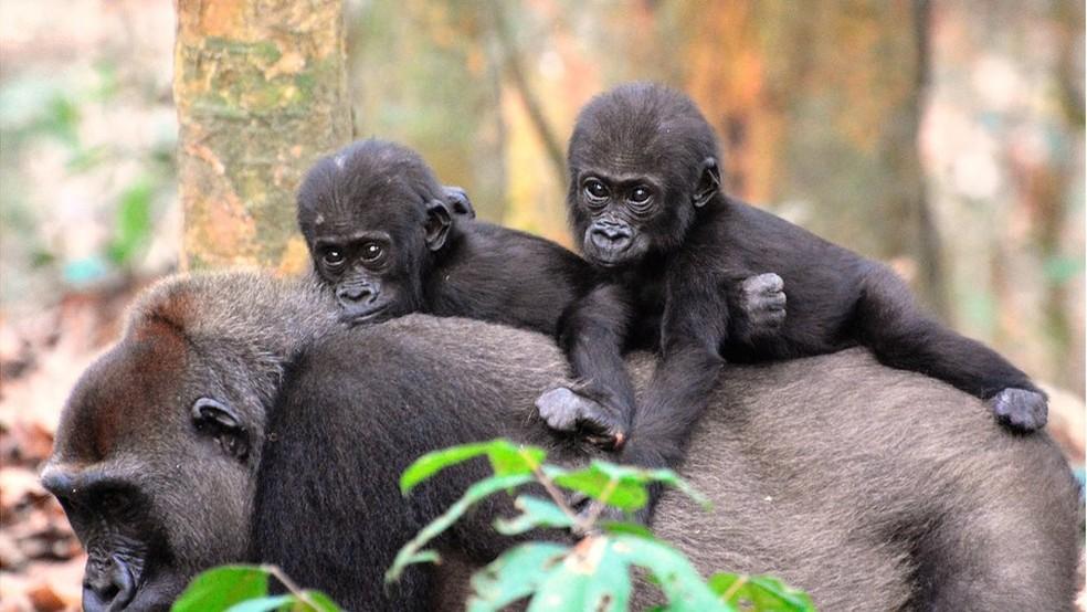 Os gorilas machos que gastaram maiores porcentagens de seu tempo com filhotes - ainda que não os seus - tiveram maior prole — Foto: TERENCE FUH NEBA, WWF CENTRAL AFRICAN REPUBLIC/BBC