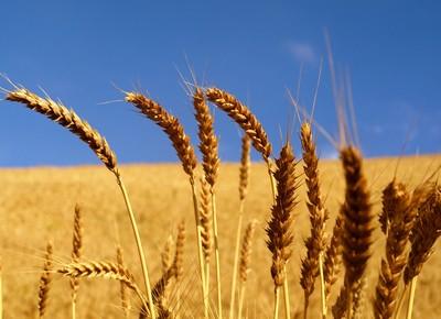 trigo-grao-cereal (Foto: Jorge Andrés Paparoni/CCommon)