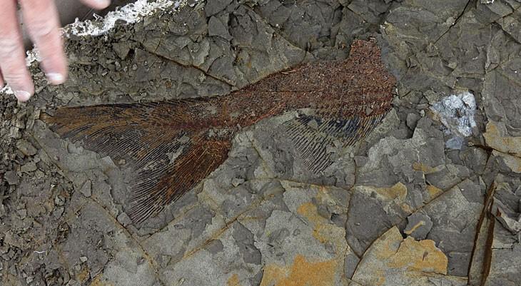 Fóssil encontrado no sítio arqueológico Tanis indica tsunami que teria ocorrido após meteoro atingir a Terra e matar dinossauros (Foto: ROBERT DEPALMA/Universidade do Kansas)