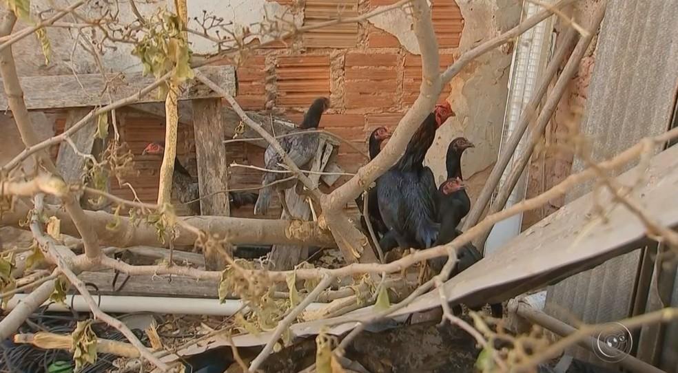 Criação de galinhas é área urbana é proibida na cidade de Marília (Foto: Reprodução / TV TEM)