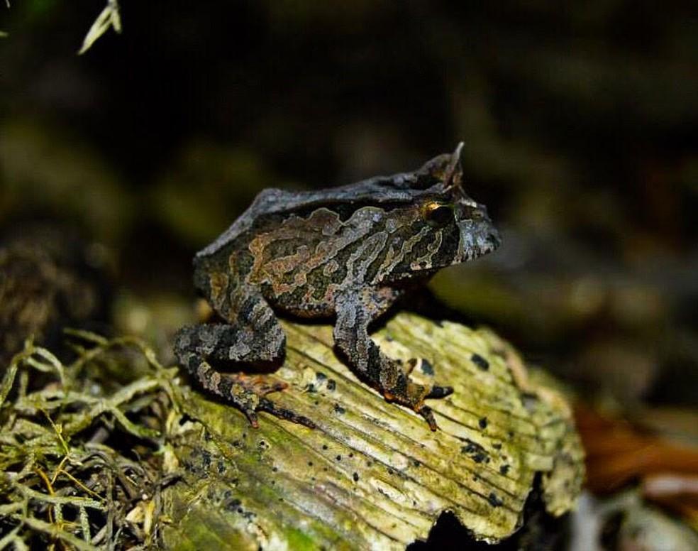 O sapo-de-chifre é habitualmente conhecido por sapo-boi. (Foto: Gustavo Gaspari/VC no TG)